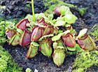 Цефалотус выращивание из семян 29