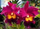 Cattleya warneri.